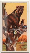Brown Bear Making A Nest In The Zoo 1930s Ad Trade Card