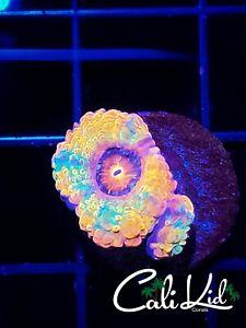 CK Ultra Acan-frag-live coral-acan