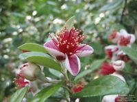 Pineapple Guava Seeds  Edible Fruit Frost, Snow Ice Tolerant Evergreen Shrub