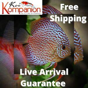 "1/2/3X Red Pearl Discus Fish 2-3"" Aquarium Koi Kompanion Free 1 Day Shipping"