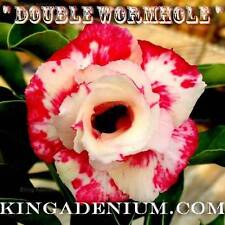 "New listing Adenium Obesum Desert Rose "" Double Wormhole "" 10 Seeds New Free Shipping"