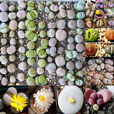 100PCS Mixed Succulent Seeds Lithops Rare Living Stones Plants Cactus Home Decor