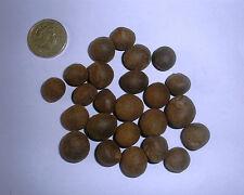 Usine de thé, chinois Camellia Sinensis X 10 graines