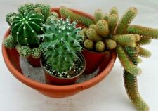 "Bundle of 3 Mature Well-rooted Live cactus ""Lady Finger"" ""Barrel"" "" Mammillaria"""