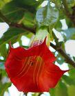 10 Red Angel Trumpet Seeds Flower Fragrant Shrub Flowers Seed 290 US SELLER