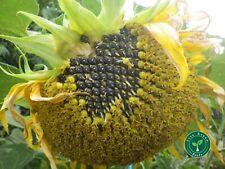 30 GRAINES D'HUILE NOIR Tournesol-plus cadeau 5 graines Passiflora edulis