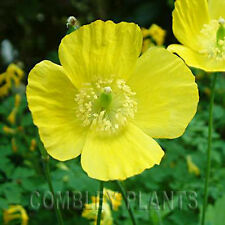 MECONOPSIS CAMBRICA - YELLOW WELSH POPPY - 5000 SEEDS (1g) - native wild flower