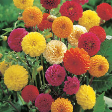 Dahlia Pompon Mix Seeds Mixed Colours Dwarf Good Cut Flower Easy to Grow