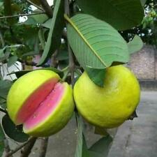 Pink Guava Tree Plant - 1 Gallon (No ship to California)
