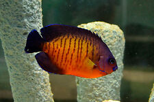 """Live Colorful Hardy Saltwater Fish - 2""""-3"""" Coral Beauty - Dwarf Marine Angelfish"""