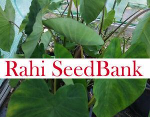 Taro Indian Purple A Delicious & Vigorous Growing Variety 1 Small Plant