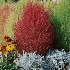 Kochia trichophylla - Burning Bush - 3000 Seeds