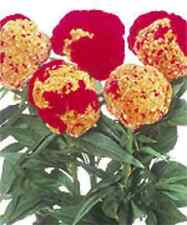 HUGE RARE RED/YELLOW BRAIN HEAD CELOSIA! 50 SEEDS ! Comb.S/H! OLD AMISH PLANT!