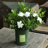 Fragrant100pcs Double Gardenia flower Seeds Blooming Bonsai Tree Home Decor