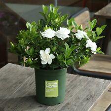 Fragrant100pcs Double Gardenia flower Seeds Blooming Bonsai Tree Home Decor
