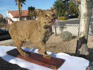 BOBCAT TAXIDERMY TAN LIFESIZE WOOD MOUNTED EXCELLENT CONDITION!