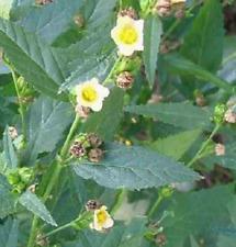 Hierba Bala - sida cordifolia - buena para obtención de miel - 200 semillas