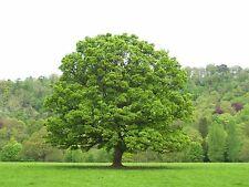 ☆American sycamore Tree☆Platanus occidentalis☆ 7-Finest Seeds☆UK Seller☆