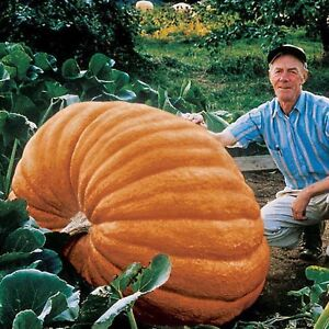 Pumpkin - DILLS ATLANTIC GIANT - 5 x Fresh Seeds - World Record Holder