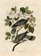 LIBRO PITTURA pagina UCCELLI AMERICA Audubon BAND Tail Pigeon poster stampa bb12458a