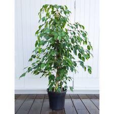 Bonsai Weeping Fig (Ficus Benjamina) 150  Seeds