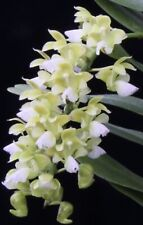 In Spike Aerides houlletiana Alba Species Fragrant Orchid!