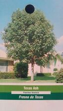 Texas Ash Tree Fast Growing Live Shade Trees New Easy Hardy Healthy Landscaping