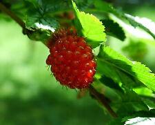 Salmonberry - Rubus Spectabilis - 25 seeds - Unusual Edible Berries