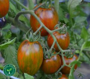 20 seeds Brad's Atomic Grape Tomato - SOLANUM LYCOPERSICUM + 5 seeds Sunflower