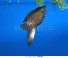 BREEDING COLONY DWARF GOURAMI 2 FEMALE 1 MALE live aquarium fish tank koi TFC