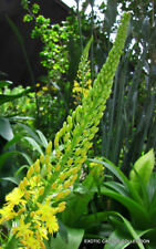 Rooiwortel bulbine natalensis rare exotic medicinal succulent flowering 20 seeds