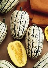 Squash Seeds 50 Delicata Winter Squash Seeds 100 DAYS Nursery Seeds