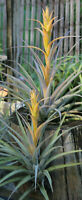 TILLANDSIA CAPITATA YELLOW  species      FREE SHIPPING  air plant