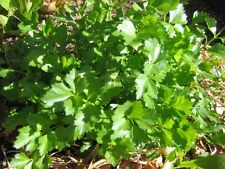 Celery Seeds - HERB CUTTING - Garnish, Soups etc  MEDICINAL BENEFITS - 100 Seeds