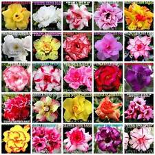 ADENIUM OBESUM DESERT ROSES DOUBLE / TRIPLE FLOWERS MIXED ASSORTED 20 SEEDS  #C