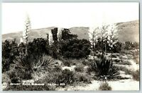 1950's Desert Yucca Blossoms So. California Yucca Valley Real Photo Postcard