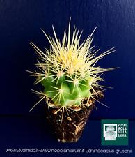 ECHINOCACTUS GRUSONII alveolino 1 planta plant cojín de la madre en ley