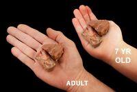 "Petrified Wood 1 1/2"" 2 Pieces Arizona Rock Mineral Specimen Chakra Healing"