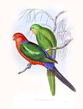 """Vintage John Gould Australian Bird Art CANVAS PRINT~ King Parrot 8""""X10"""""""