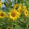 Sunflower - Giant Single - 50 Seeds