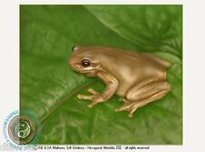 © ART - Australian Wildlife Tree Frog Froglet Original artist print by Di