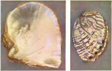 MOLLUSCS. Pearl Oyster (Margaritifera) ; Ormer (Haliotis tuberculata)  1936