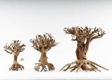 Mammut Bonsai - vers. Größen