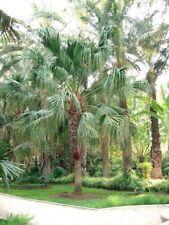 TARAW PALM (Livistona saribus) 10 seeds