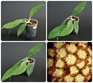 Hoya finlaysonii long leaf Ableger Rare (no philodendron)