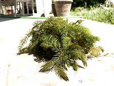 Live Aquarium Plants: 1 Bunch of Hornwort