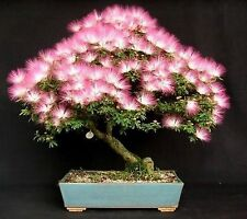 3 PACK VARIETY BONSAI SEEDS PERSIAN SILK TREE RED CREPE MYRTLE SMOKE TREE SEED