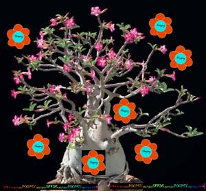 ❀⊱ ADENIUM ARABICUM DESERT ROSE THAI SOCOTRANUM HOUSE CAUDEX BONSAI SEEDS ⊰✾AT