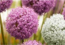 3 ALLIUM PASTEL PURPLE WHITE MIX BULBS CORM AUTUMN GROW GARDENING SPRING FLOWER