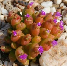 Oophytum nanum Seeds Living Stone Arid Living Flowers Pink or White